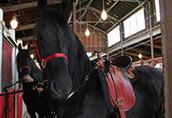 Koń czystej rasy fryzyjskiej klacz (Christie) Zakup 1