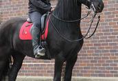 Koń czystej rasy fryzyjskiej klacz (Christie) Zakup 3