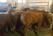 Byki, byczki, cielaki, cielęta, odsady, odsadki