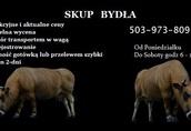 Skup Bydła krowy*byki*jałówki