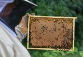 Odkłady pszczele mazowieckie, ramka wielkopolska, Buckfast