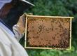 Pasieki Oferujemy odkłady pszczele na ramce