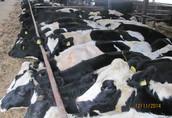 Pozostałe zwierzęta hodowlane Jałowice wydajności 11-12 tys. litrów, krycie naturalne...