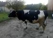 Krowy Sprzedam krowę mleczną, 7 lat