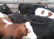 Cielaki i opasy Sprzedam jałówki mięsne 50 szt