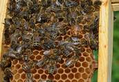 Matki pszczele Buckfast, po matce selekcjonowanej z Niemiec 1