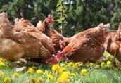 Kury Nioski 1-roczne z Jajkiem