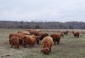 Highland Cattle stado 14matek, 2 byki, młodzież