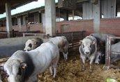 Byki na ubój Witam ku pie każda ilość bydła atrakcyjne ceny zadzwo...