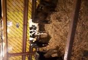 Byczki Jaloszki HF NCB oraz ras mięsnych! Co tydzień nowa dostawa