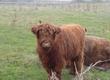 Pozostałe zwierzęta hodowlane Sprzedam jałówkę rasy Highland