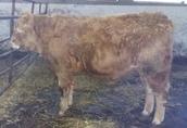 Sprzedam byczki odsadki mięsne