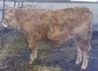 Cielaki i opasy Sprzedam byczki mięsne odsadki
