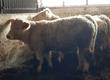 Byki rozpłodowe Sprzedam byczki 100 % Charolaise