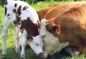 byki krowy