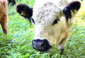 byki krowy 2