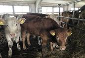 Byczki, jalówki mięsne duży wybór Bez Pośredników