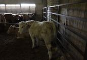 Byczki, jalówki mięsne duży wybór Bez Pośredników 3