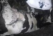 Krowa z cielęciem