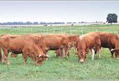 Sprzedam krowy i jałówki cielne rasy Limousine