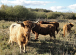 Krowy Sprzedam stado bydła mięsnego