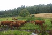 Krowy szwedzkie
