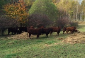 9 byczków Salers do hodowli, duze, zdrowe, super cena!