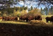 9 byczków Salers do hodowli, duze, zdrowe, super cena! 1