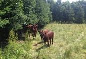 9 byczków Salers do hodowli, duze, zdrowe, super cena! 2