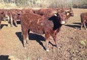 9 byczków Salers do hodowli, duze, zdrowe, super cena! 4