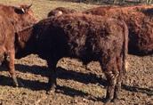 9 byczków Salers do hodowli, duze, zdrowe, super cena! 6