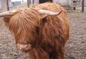 Krowa Szkocka, HI