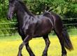Klacze Nasze fryzyjskie konie są teraz