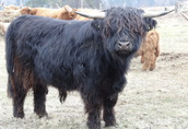 Byk Highland Cattle Rasa Szkocka Rozpłodowy Półtusza Wołowina 4