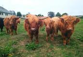 Byk Highland Cattle Rasa Szkocka Rozpłodowy Półtusza Wołowina 5