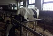 Jałówki Cielne, Krowy z mlekiem! 2