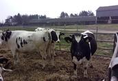 Jałówki Cielne, Krowy z mlekiem! 3