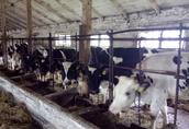 Jałówki Cielne, Krowy z mlekiem! 4