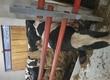 Byki na ubój skupuje bydlo od posrednikow byki