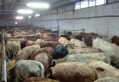 Byczki ras mięsnych 200-350 kg