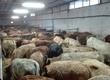 Cielaki i opasy Byczki ras mięsnych :Simental