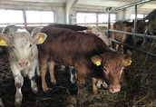 Byczki ras mięsnych 200-350 kg 1