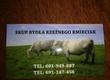 Byki na ubój Skup bydła (krowy, byki, jałówki