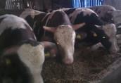 Byki jałówki mięsne mieszance na ubój rzeź