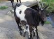 Kozy witam sprzedam dwie kozy mleczne