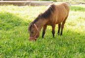 konie huculskie 1