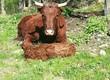 Krowy Sprzedam bydło Salers. Czyste rasowo