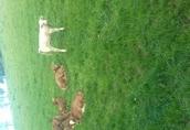 cieleta byczki,jałówki odzadki ,200-300kg transport