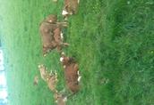 cieleta byczki,jałówki odzadki ,200-300kg transport 1