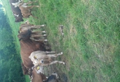 cieleta byczki,jałówki odzadki ,200-300kg transport 2